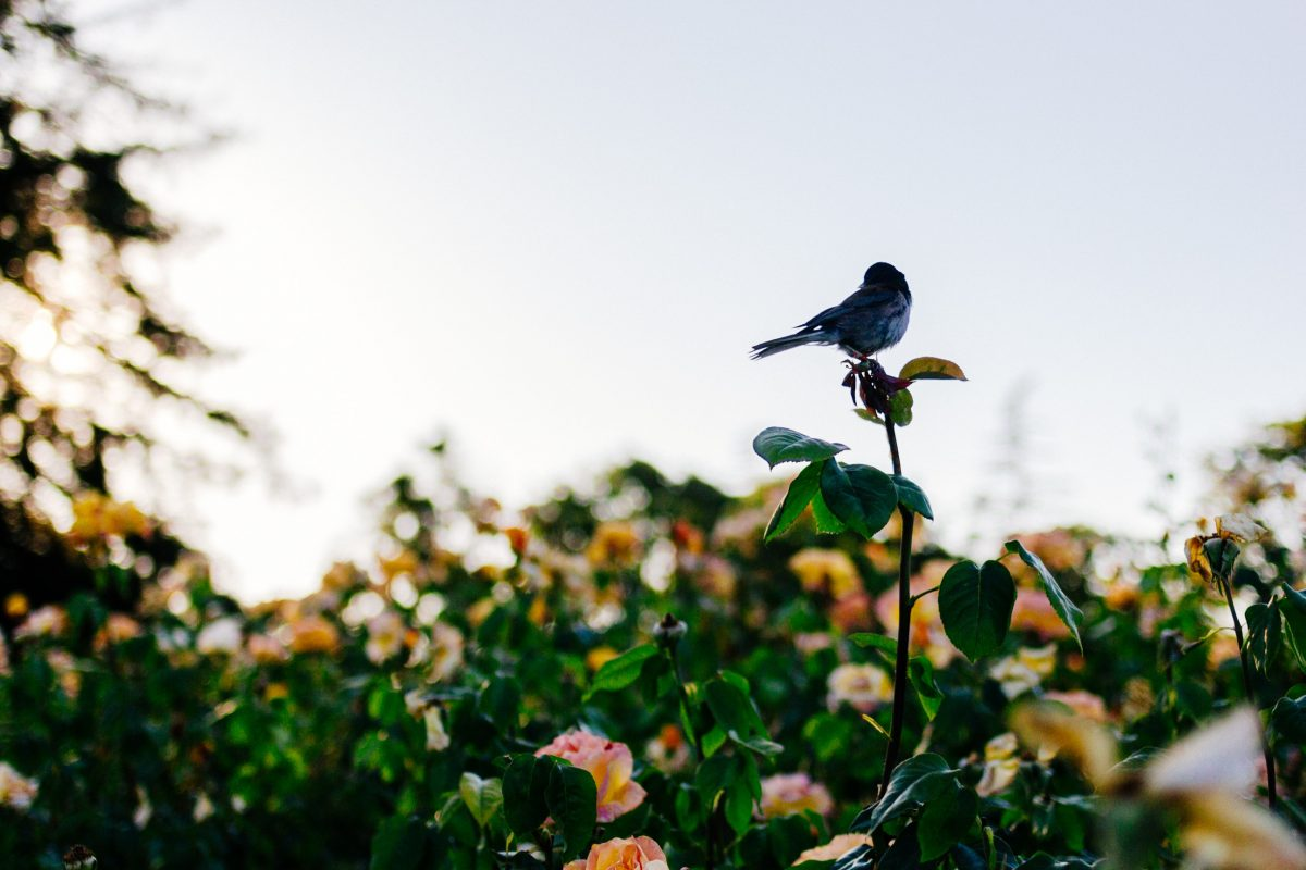 ideas for ashes - bird on rose bush