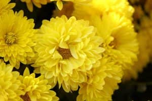 Funeral crysanthemums